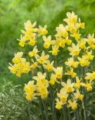 Narcissus Angel's Whisper