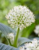 Allium Ivory Queen