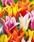 Tulipa lily-flowering mix