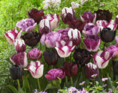 Tulipa mix in roze en paars