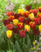 Tulipa zaailing Beyonce, Tulipa Davenport, Tulipa Flamenco, Tulipa Orange Crispa