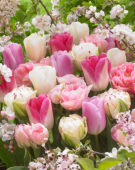 Tulipa mix in roze en wit
