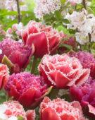 Tulipa Brest, Mascotte