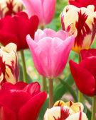 Tulipa triumf mix