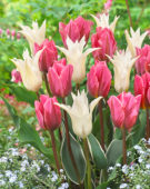 Tulipa Tres Chic, Pretty Princess
