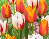 Tulipa Jannekes Orange, Carnaval de Rio