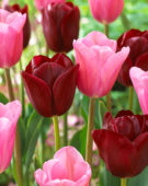 Tulipa Mistress, National Velvet