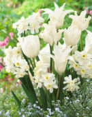 Tulipa en Narcissus mix