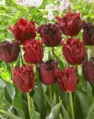 Tulipa Labrador, Versaci