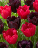 Tulipa Burgundy Lace, Cuban Night