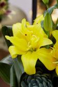 Lilium Yellow Blossom