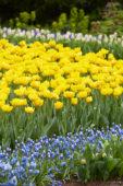 Tulipa Mon Amour, Muscari