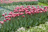 Tulipa Drumline