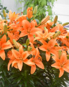 Lilium orange