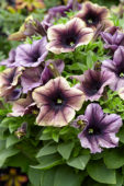 Petunia Happy Magic Dark Caramel Star