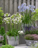 Agapanthus Little Dutch White, Little Dutch Blue