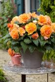 Begonia AmeriHybrid® Picotee Lace Apricot