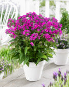 Phlox Twinkle Purple 11-K036-02