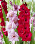 Gladiolus combination