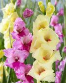 Gladiolus Albendeira, Newport
