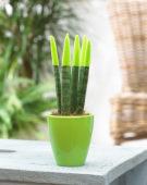 Sansevieria Velvet Green