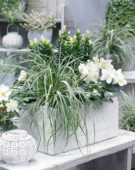 Carex EverColor® Everest
