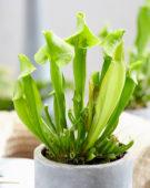 Sarracenia × catesbyi