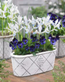 Iris reticulata Frozen Planet