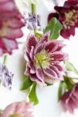 Helleborus bloem