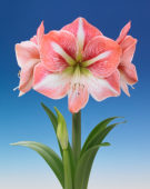 Hippeastrum Strong King