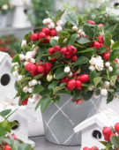 Gaultheria white and red
