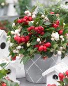 Gaultheria wit en rood