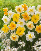 Narcissus Vink mix