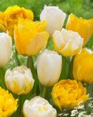 Tulipa wit en geel gemixt