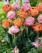 Tulipa Only Me, Double Orange