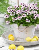 Pelargonium Mosquitaway Lizzy