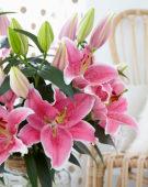 Lilium Pink Zsar