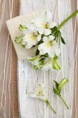 Alstroemeria Misty Spring