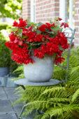 Begonia Illumination Red