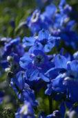 Delphinium grandiflorum Ocean Mint Blue