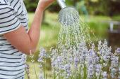 Lavendel water geven