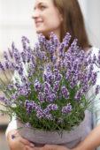 Dame met Lavandula angustifolia