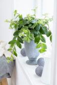 Aeschynanthus variegatum