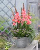 Gladiolus Whitney