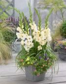 Gladiolus Bambino Lavender