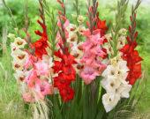 Gladiolus Bambino mix