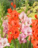 Gladiolus Buena Sera, King Redbad