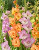 Gladiolus Galatina, Princess Frizzle