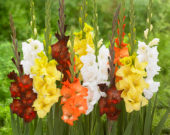 Gladiolus Azuro, Gladiolus Elmorada, Gladiolus Golden Sunrise, Gladiolus Imogen