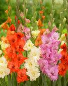 Gladiolus Buena Sera, King Redbad, Gladiolus Twister, Gladiolus Princess Frizzle